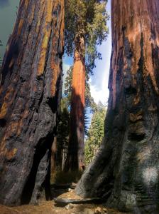 Sequoia3-1